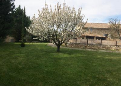 Le cerisier en fleurs.